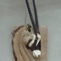 Oryx taxidermé en bas relief Tableau