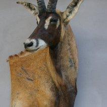 Antilope Rouanne taxidermée en Bas-relief