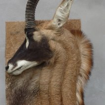 Antilope Rouanne taxidermée en bas relief tableau